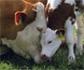 El segundo Livestock Forum Networking Day, se centrará en la ganadería de precisión y el bienestar de los animales de granja