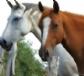 Muestras más apropiadas ante una sospecha de enfermedad infecciosa en caballos