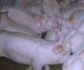 V Jornada Internacional Cient�fico T�cnica de Reproducci�n Porcina