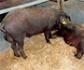 Publicados los resultados del estudio Castrum sobre métodos alternativos de anestesia y analgesia para la castración de cerdos