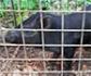 El cerdo vietnamita, de mascota a especie invasora que daña el medio natural