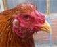 La FAO alerta de la aparici�n de la gripe aviar en �frica occidental