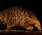 Decretan la prohibición total del comercio internacional del mamífero más traficado del planeta, el pangolín