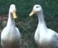 Veterinarios descartan la participaci�n de un agente infeccioso en el fallecimiento de patos en el parque de Andaluc�a de Alcobendas (Madrid)