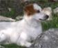 Cl�nica, diagn�stico, tratamiento y pron�stico de la anemia hemol�tica inmune en perros