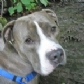 Estudian la prevalencia, hallazgos clínicos, patrones histológicos y causas de esplenitis en perros