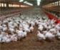¿A qué desafíos se enfrentaría el sector avícola europeo si finalmente se negociara el TTIP?