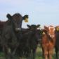 Desciende la brucelosis y la tuberculosis bovina en Castilla y León