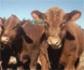 Diseñan genéticamente en China vacas resistentes a la tuberculosis