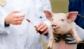 Cómo afrontar el reto de las resistencias antimicrobianas en el sector porcino