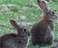 El conejo europeo, en peligro de extinción por la fiebre hemorrágica
