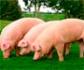 Colvema organiza un curso online con experto: Crisis epidemiológicas,  peste porcina africana