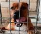 El problema sin resolver de los perros potencialmente peligrosos: los más abandonados y menos adoptados