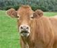 Big data para optimizar el uso de antibióticos en ganado
