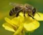 La UE prohíbe el uso en espacios abiertos de tres insecticidas peligrosos para las abejas