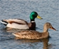Detectado un foco de influenza aviar altamente patógena H5N8 en Bélgica en aves silvestres
