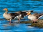 Alemania y Países Bajos detectan dos focos de influenza aviar altamente patógena