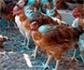 México informa de un brote de influenza aviar a la Organización Mundial de Sanidad Animal