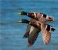 Las aves caen en picado: algunas especies se han reducido en ciertas zonas hasta un 90% desde 1980