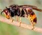 La avispa asiática requiere respuestas contundentes, para que no se convierta en un problema irreparable de sanidad ambiental