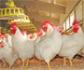 En marcha el centro de referencia para el bienestar de las aves de corral y otros animales pequeños de granja, en el que participa el IRTA (Barcelona)