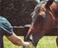 La obesidad multiplica por diez el riesgo de desarrollar asma en caballos