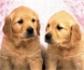 Desarrollan una gráfica de estándares de crecimiento basada en el peso y la edad de más de 6 millones de perros