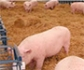 El MAPA cambiará la normativa de las granjas intensivas de porcino