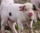 Una técnica desarrollada por Visavet permite seguir en tiempo real el estado de salud del ganado porcino