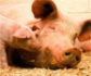 Publicado un estudio sobre el bienestar animal en ganado porcino en Gran Bretaña, realizado sobre una muestra de 5,5 millones de animales