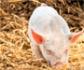Material de enriquecimiento en los cebaderos de porcino