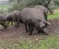 Aprobada la nueva extensión de la norma del cerdo Ibérico