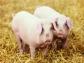 Interporc presenta un modelo de certificación del bienestar animal para el sector porcino de capa blanca