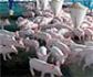 El Gobierno actualiza el RD de ordenación de las granjas porcinas
