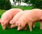 Agricultura adapta el Programa Nacional de Vigilancia Sanitaria Porcina al incremento del riesgo de incursión de PPA en la UE