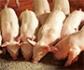 El Gobierno español refuerza los planes de vigilancia ante los casos de peste porcina en Bélgica