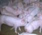 Publicada en el BOE la nueva normativa sobre explotaciones ganaderas de porcino