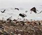 Un estudio multidisciplinar revela que los pollos de cigüeña blanca alimentados con comida procedente de los vertederos urbanos, tienen un mejor estado nutricional y condición física