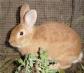 Mixomatosis vs Sistema Inmune: Una carrera por la supervivencia en conejos