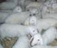 Influencia de la raza y del sistema de producción en el peso de los corderos