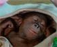 Imágenes virales de una cría de orangután que ayudará a salvar la especie