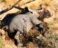 Una bacteria, responsable de la muerte masiva de elefantes en Botswana