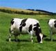Identifican marcadores genéticos para detectar de forma precoz el riesgo del ganado a padecer paratuberculosis