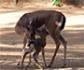 Nace una nueva cría de gacela en el Zoo de Barcelona, una especie casi extinguida en libertad