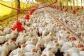 Manejo en sistemas de aviario en avicultura de puesta