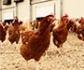 Investigadores desarrollan sistemas para el uso de uso de bacteriófagos como antibacterianos naturales en avicultura