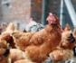 La Comisión Europea lanza nuevas medidas para combatir la gripe aviar