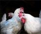 El Consejo Internacional de Avicultura adopta una posición global sobre el uso responsable de antibióticos en la producción avícola a nivel mundial