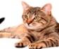 Tratamiento quirúrgico del linfoma gastrointestinal en gatos