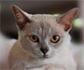 Relación entre conjuntivitis en gatos y herpesvirus felino